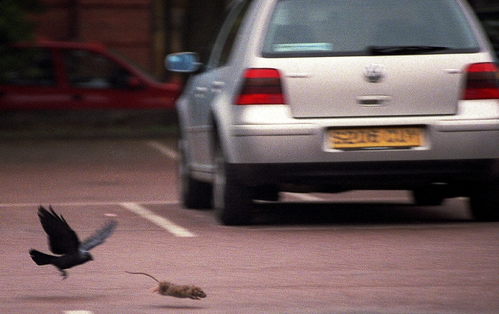 BIRD CHASES RAT